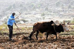 山肌を牛が耕す