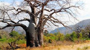 暗い気分で見ると、陰惨な木に見える。バオバブは不思議な木だ