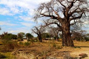 マラウイ湖に近づくと、バオバブが増える