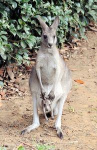 写真:カンガルーの母子。母親のウーチャンの袋から赤ちゃんが顔をのぞかせた=千葉市動物公園