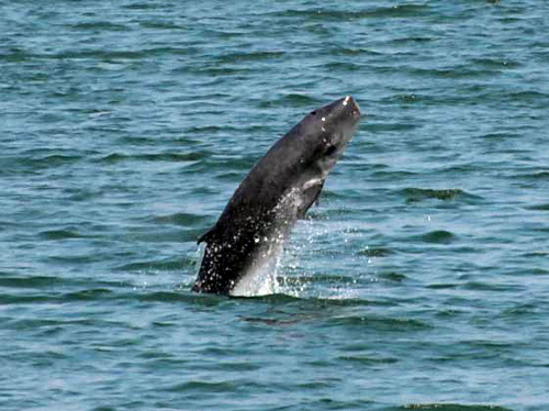写真:博多湾に現れたコマッコウ=マリンワールド海の中道提供