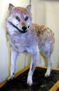 写真:すでに絶滅したニホンオオカミのはくせい(和歌山大)