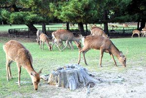 写真:芝を食べる「奈良のシカ」。観光客がほとんど接触しない公園外の鹿について、駆除が検討されている=奈良市の奈良公園
