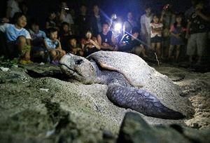 写真:奄美大島の砂浜で産卵するアカウミガメ。子供たちは「がんばれー」と、小声で声援を送っていた=鹿児島県龍郷町、藤脇正真撮影