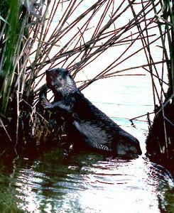 写真:1979年6月に撮影されたニホンカワウソ=高知県須崎市の新荘川、全日写連高橋誠一さん撮影