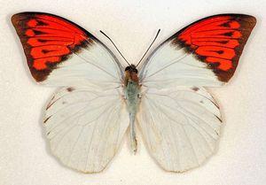 写真:羽に猛毒が含まれていることが分かったツマベニチョウ=米科学アカデミー紀要提供