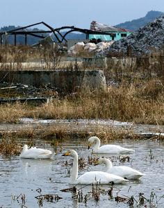 写真:津波で浸水した地域に飛来しているコハクチョウ=9日、岩手県陸前高田市、葛谷晋吾撮影