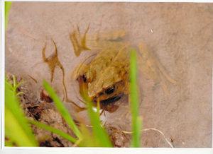 写真:田の水面から顔をのぞかせるサドガエル=2012年6月、新潟県・佐渡島、関谷国男さん撮影