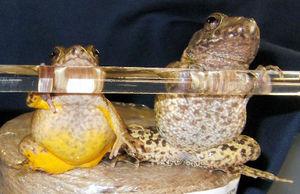 写真:サドガエル(左)と、近い種であるツチガエル=広島大の三浦郁夫准教授提供