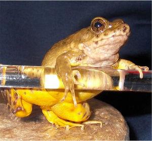 写真:新種とわかり、「サドガエル」と命名されたカエル=広島大の三浦郁夫准教授提供