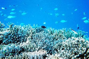写真:沖縄県石垣島のサンゴ。サンゴの海中林は多くの生物のすみかだ=国立環境研究所提供