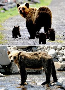 写真:(写真上)3頭の子グマを育てていたころのパンコ=2009年6月13日(下)やせ細ったパンコ=昨年8月18日、いずれも北海道斜里町、知床財団提供