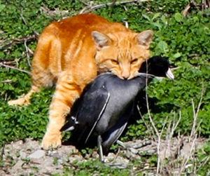 写真:野鳥をくわえるネコ。米鳥類保護協会では、以前からネコによる野鳥への被害を訴えており、すぐに対策をとるべきだとしている=同協会提供