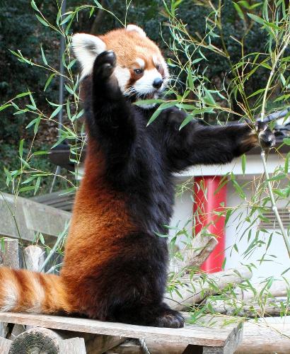 写真:滑り止めとなる鋭いつめで木から「落ちない」というレッサーパンダ=岡山市北区
