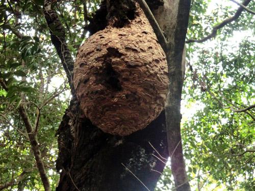 写真:添田町が駆除したキイロスズメバチの巣=添田町提供
