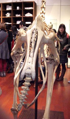 写真:博物館会場の動物の骨格標本