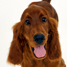 1日に100キロ以上走れる狩猟犬 アイリッシュ・セッター