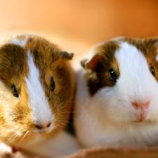 実験動物の代名詞モルモット 飼い主を識別してなつくお利口さん