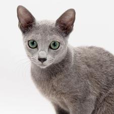 「幸せを呼ぶ」美しい猫 ロシアン・ブルー