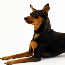 小さくても勇ましい番犬 「ミニチュア・ピンシャー」