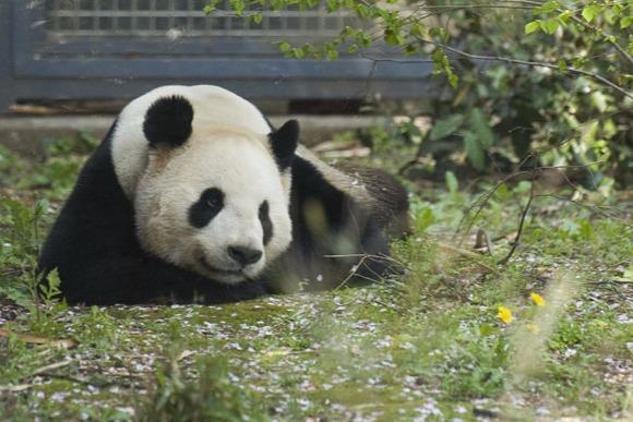 おつかれっ! パンダも毎日、上野で働いてます