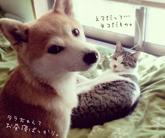柴犬フクと猫のタラ。2匹が織りなすのんびりな日々