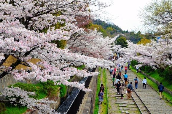 桜を追いかけ、東へ西へ《京都ゆるり休日さんぽ》
