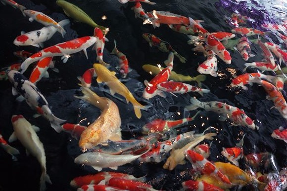 泳ぐ宝石 錦鯉は日本人の手で磨かれてきた芸術品
