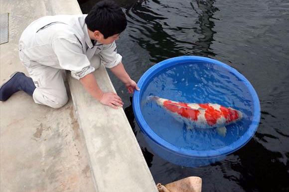 「泳ぐ宝石」 錦鯉は日本人の手で磨かれてきた芸術品