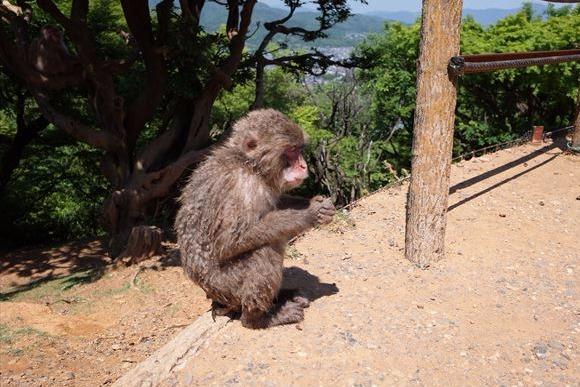 長いこと京都に住んでいます  欧米人に人気の嵐山のサル