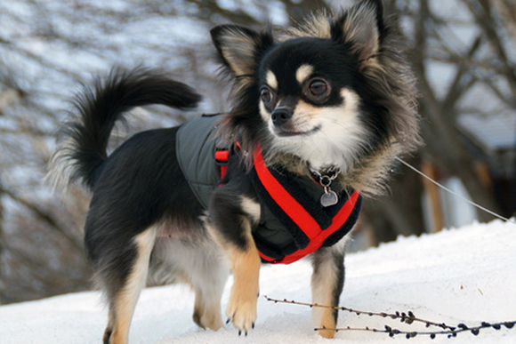 寒くて散歩に行きたがらない犬のストレス解消法は