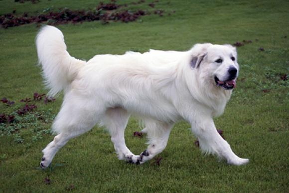 寒さに強く暑さに弱い使役犬「グレート・ピレニーズ」