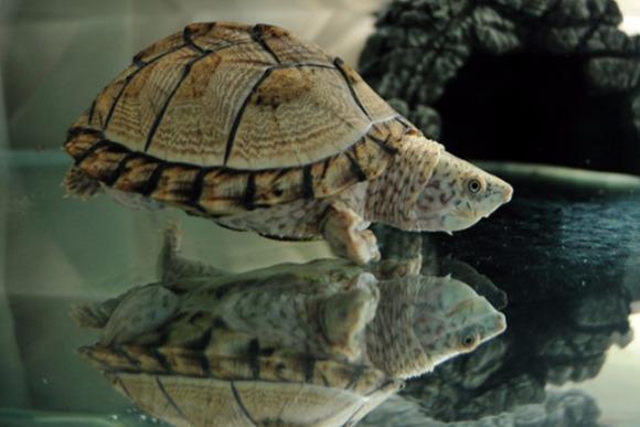 大きめの頭がかわいらしい 「カブトニオイガメ」