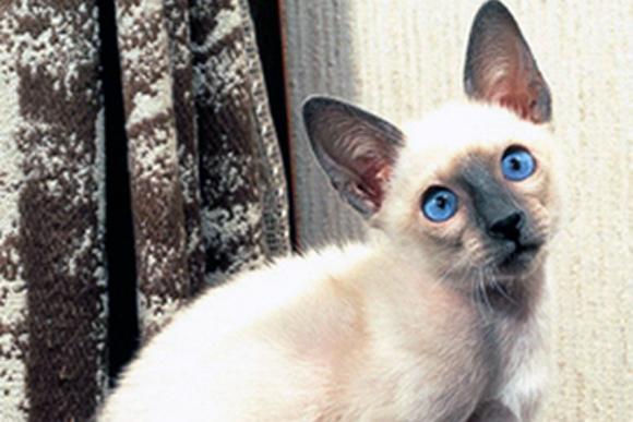感受性が豊かでプライドが高い猫「シャム」