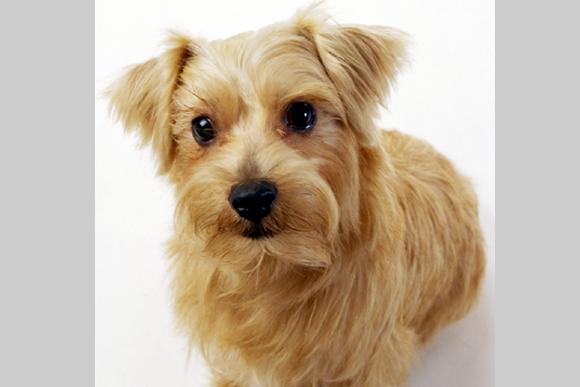 いたずらっ子の小犬「ノーフォーク・テリア」