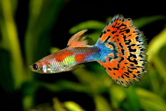 熱帯魚はグッピーに始まりグッピーに終わる