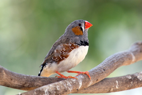 ネコのような独特な鳴き声の鳥 「キンカチョウ」