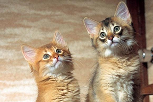 優雅な佇まいの猫 「ソマリ」