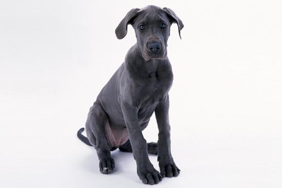 ドイツ生まれの温和な大型犬 「グレート・デーン」