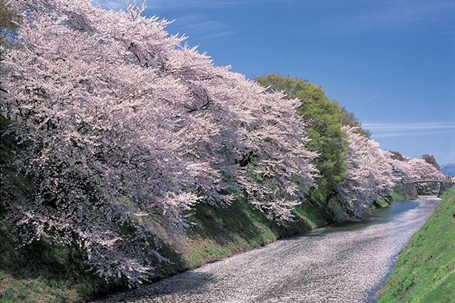 一度は見たい桜