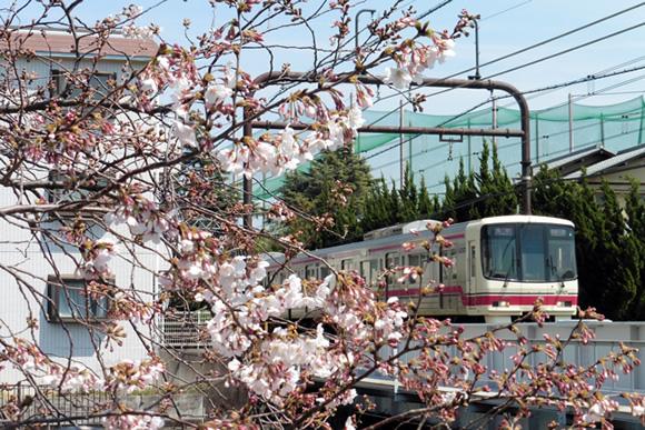 満開の桜が列車を彩る