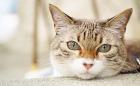 沖縄のカフェでくらす、看板猫の「とら」