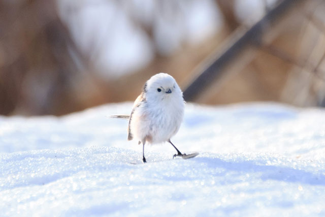雪の妖精「シマエナガ」