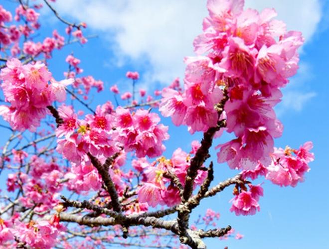 早くも春! 沖縄の「日本一早い桜」
