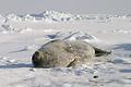 警戒心なく、海氷上でゴロゴロ昼寝