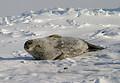 ウェッデルアザラシは海氷の上で出産、授乳して子育てもする