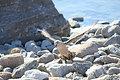 ナンキョクオオトウゾクカモメ。ペンギンの卵やヒナを狙う