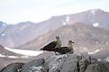ナンキョクオオトウゾクカモメ。ペンギンの営巣地のそばで子育てする
