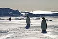 極寒の冬、氷の上で卵を産んで子育てする