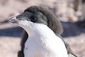 「どう?このアフロ?」産毛が残るアデリーペンギンのひな